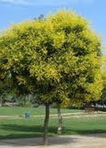 Golden Rain Tree tree