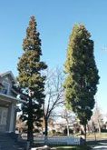 Incense Cedar tree